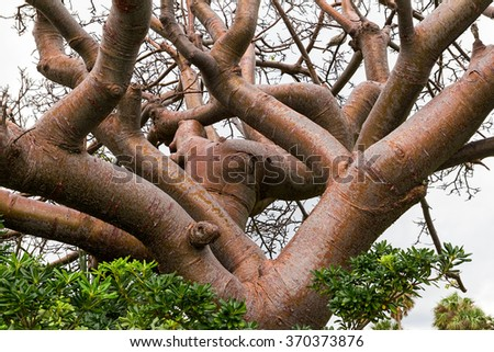 Tree trunk with grotesque limbs and smooth bark - stock photo