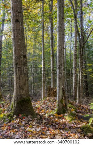 Tree Trunks in an Autumn Forest - Algonquin Provincial Park, Ontario, Canada