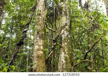 Tree trunks in tropical rainforest, Ecuador hung with lianas - stock photo
