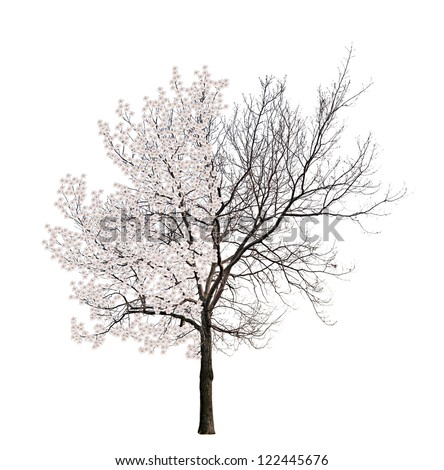 tree with blossom and dead parts isolated on white background