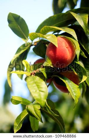 tree with fresh peach against blue sky - stock photo