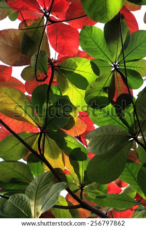 Tree with large red and green leaves - stock photo