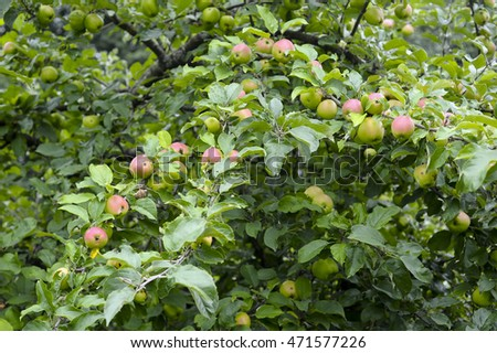 tree with many apples