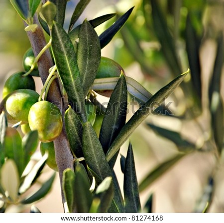 Tree with olives - stock photo