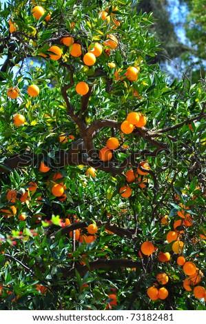 Tree with plenty of oranges. - stock photo