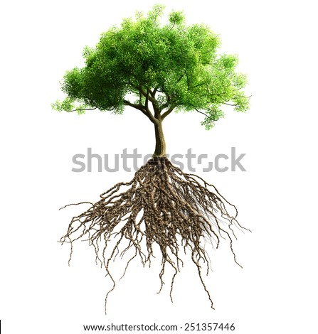 tree with roots isolated - stock photo