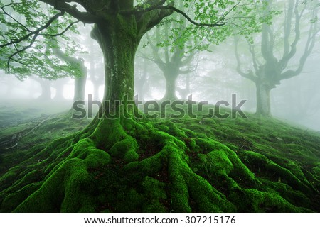 tree with twisted roots in foggy forest - stock photo