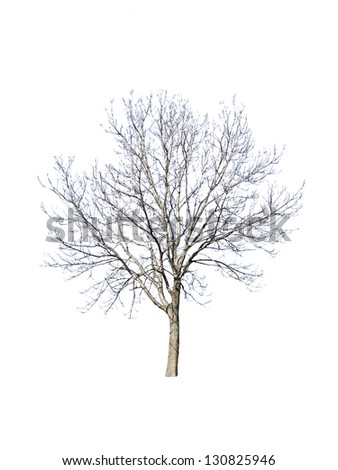 tree without leaves on white