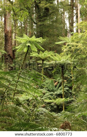 Treeferns soar high in a cool temperate rainforest, Victoria, Australia.  Ferns in the foreground are sprouting new spring growth. - stock photo