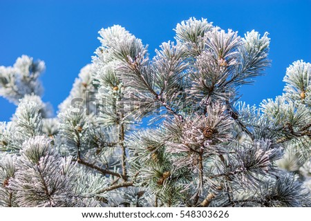 Trees and branches in frost