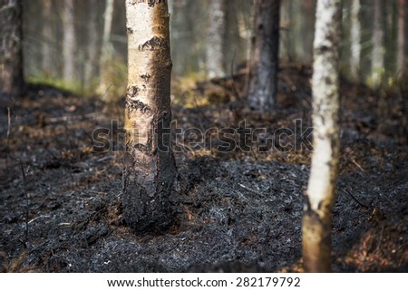 Trees and ground scorched after fire in forest  - stock photo