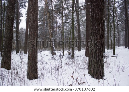 Trees at the forest in winter  - stock photo