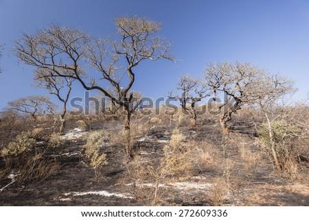 Trees Fire Landscape Fire burnt trees grass landscape in wilderness wildlife terrain. - stock photo