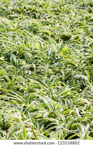 """Trees for use in Garden, Scientific name """"Cholorophytum comosum'' - stock photo"""