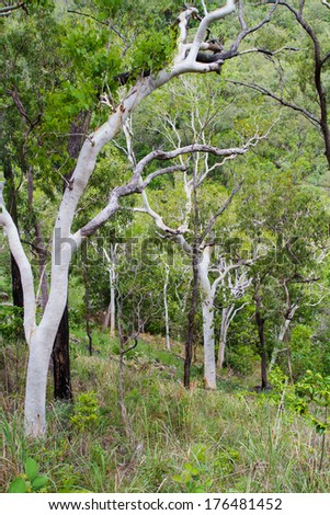 Trees in australian forest - stock photo