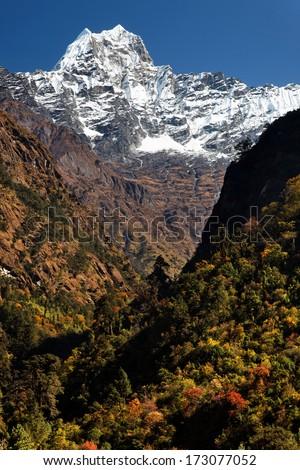 Trees in autumn colour beneath snow-covered Kusum Kanguru, in the Nepalese Himalaya - stock photo
