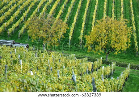 Trees in autumn vineyard