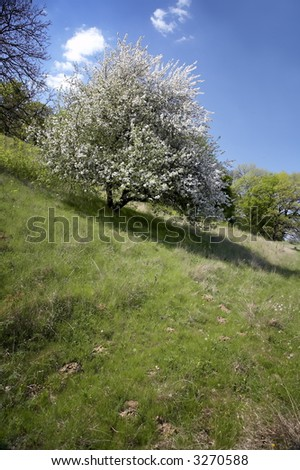 trees in bloom on a field in spring/orchard