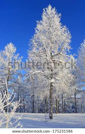 Trees in hoarfrost in the sunny winter afternoon
