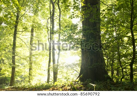 Trees in the forest on a bright and misty autumn morning - stock photo