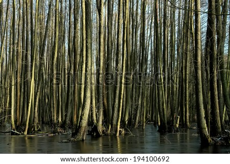 Trees in the swamp, tree trunks - stock photo