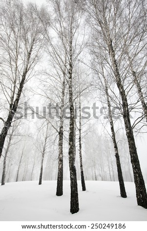 trees in the winter  - stock photo