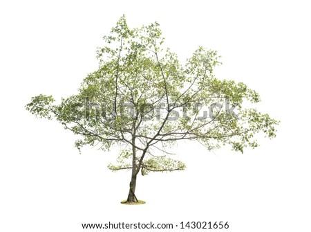 Trees isolated - stock photo