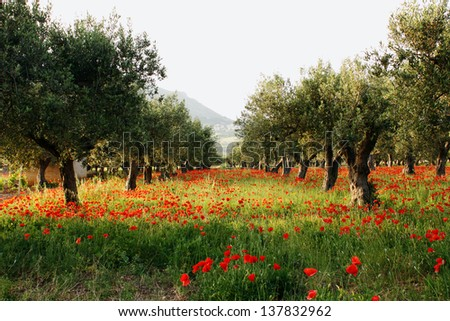 Trees of olives on a field of poppies - stock photo
