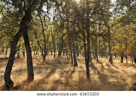 Trees on dry yellow grass on a hot summer California day. - stock photo