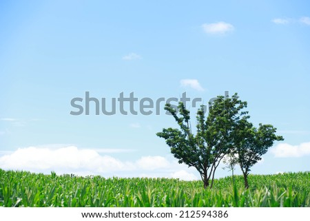 Trees on farms corn and blue sky with clouds.