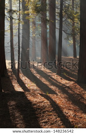 Trees shadows in a orange forest early in the morning