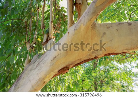 Trees used to make paper ( Old eucalyptus tree ) - stock photo