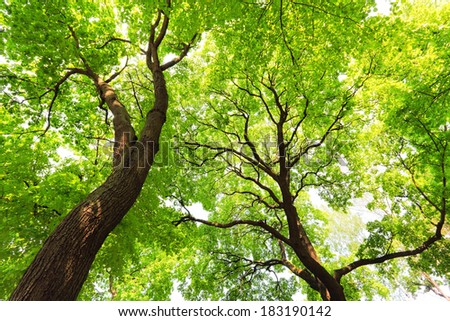 trees with green leaves canopy at sunny spring day, bottom view