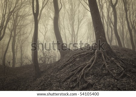 trees with visible roots in a misty forest - stock photo