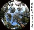 treetops, 8mm fish-eye shot of trees - stock photo