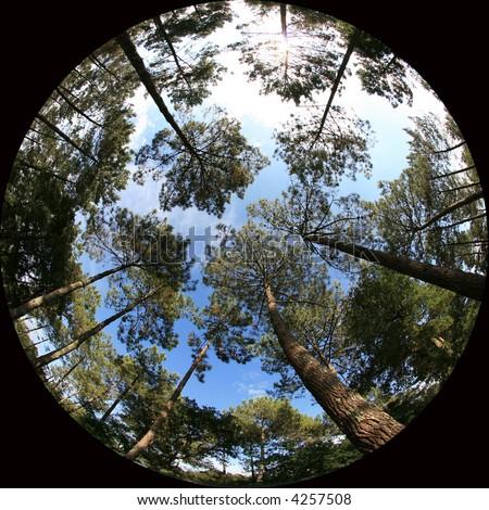 treetops, 8mm fish-eye shot of trees - stock photo
