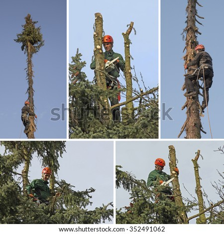 treeworker in action - climbing up and cut down the fir tree with a chain saw - stock photo