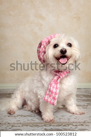 Trendy fashion pooch with matching hat and scarf sitting on a rustic wooden floor. - stock photo