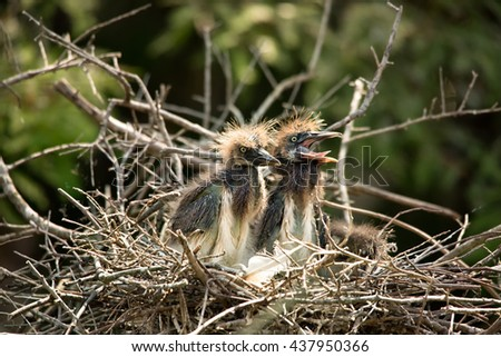 Tri-colored heron babies in nest - stock photo