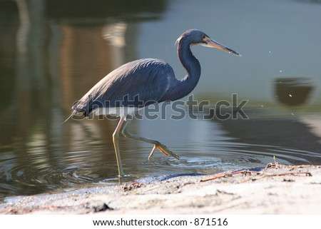 Tri Colored Heron Wading in Water