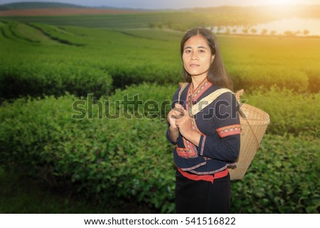 Tribe woman pick tea leaves in tea plantation. with traditional clothes