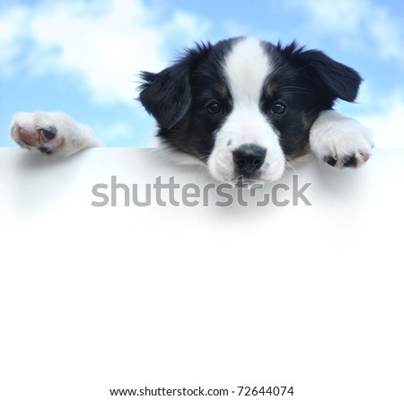 Tricolor Australian Shepherd (Aussie) Puppy Above a Blank Sign - stock photo