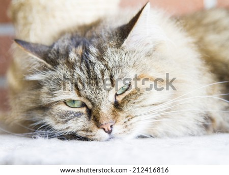 tricolor brown cat of siberian breed, female - stock photo