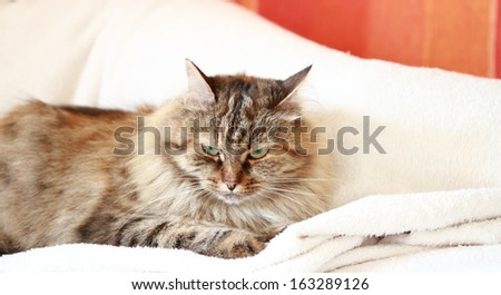 tricolor cat, siberian breed