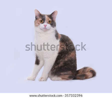 Tricolor cat sits on gray background