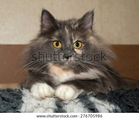 Tricolor cat sitting on black and white fur bedding