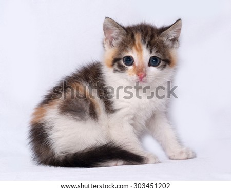 Tricolor fluffy kitten sitting on gray background