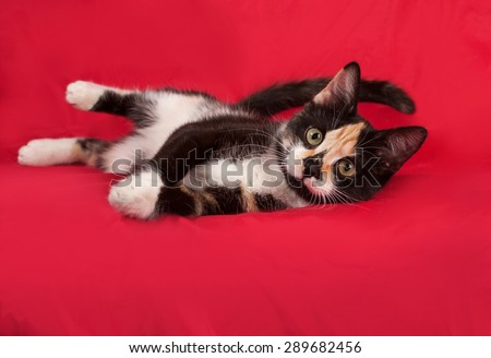 Tricolor kitten lying on red background