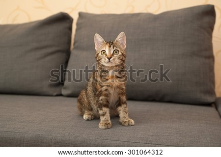 Tricolor kitten sitting on gray couch - stock photo