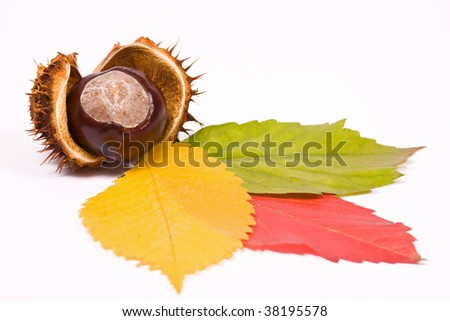 Tricolor leaves with chestnut